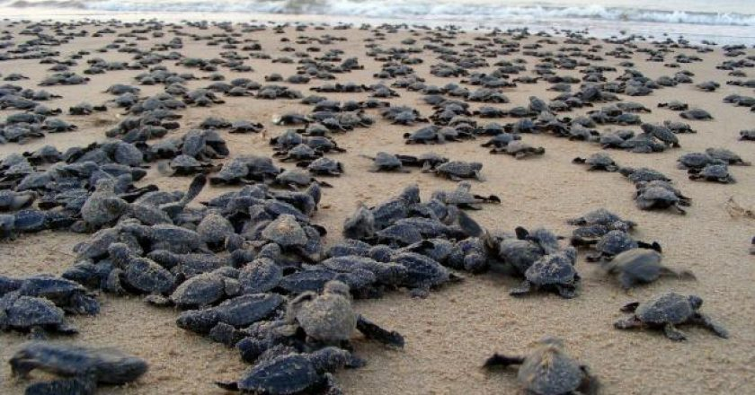 TURTLE MASS NESTING END