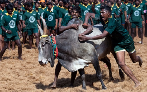 jallikattu_pongal_wishes_festival_culture_bullfight(www.picturespool.blogspot.com)_02