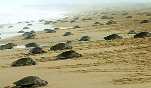 Olive-ridley-Sea-Turtles