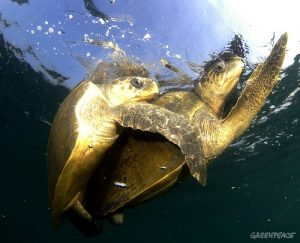 a-pair-of-turtles-mating