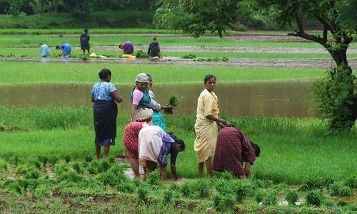 rice_cultivation