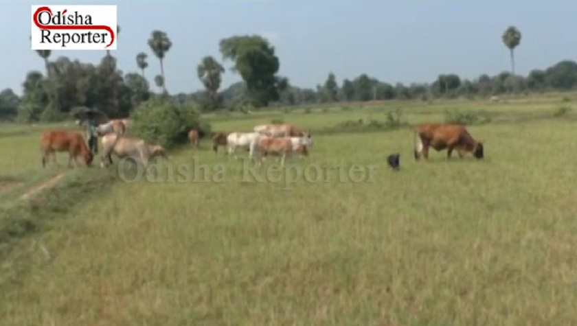 Grazing-cows