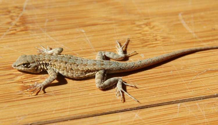 tips to keep lizards away fro home
